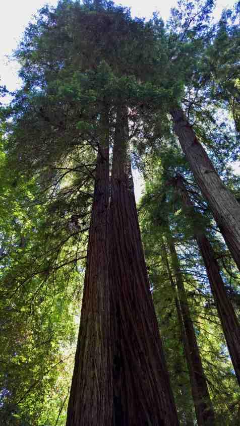 Redwoods1440